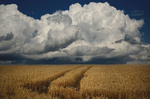Обои Облачное небо перед дождем над пшеничным полем, фотограф Чурляев Максим