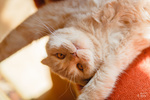 Обои Рыжий развалившийся кот на кресле. Фотограф Ульяна Мизинова