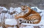 Обои Амурская тигрица с оскалом лежит на заснеженной каменной плите, фотограф Олег Богданов