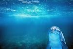 Обои Дельфин под водой, by enriquelopezgarre
