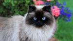 Обои Кошка породы рэгдолл колор-пойнт с голубыми глазами на фоне цветов на газоне