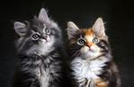 Обои Котята на черном фоне