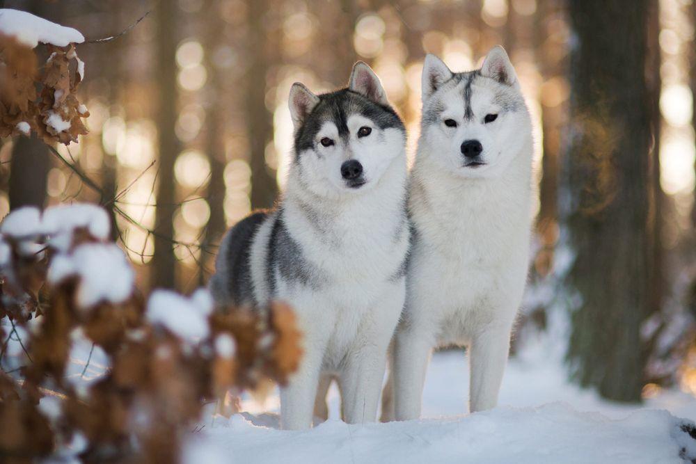 Обои для рабочего стола Хаски в зимнем лесу, фотограф Iza Lyson
