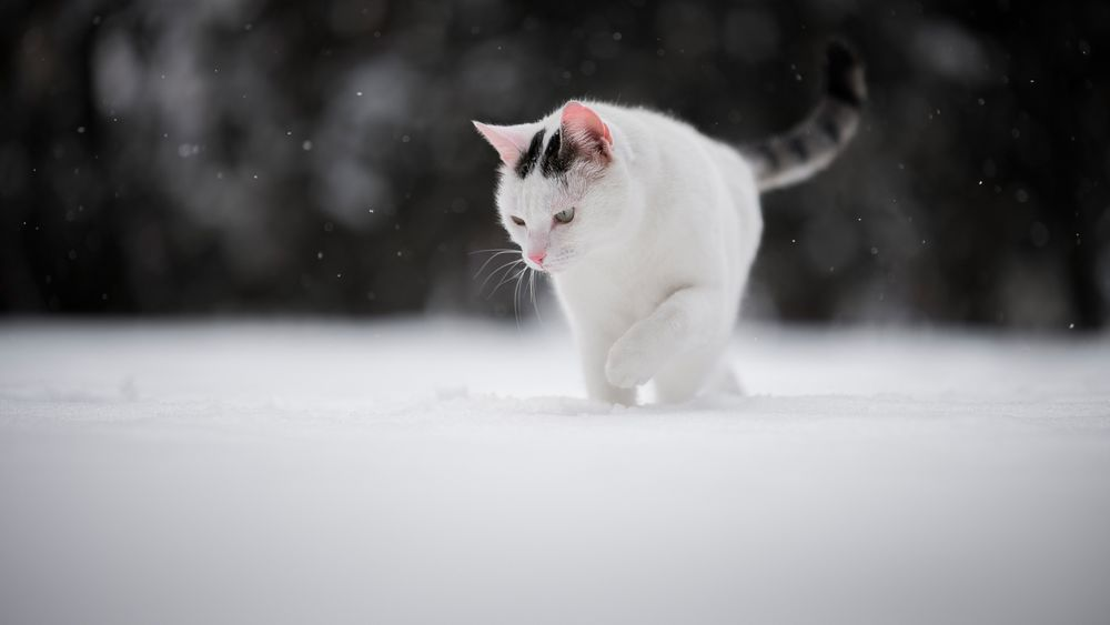 Обои для рабочего стола Кошка бредет по снегу