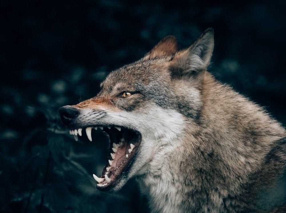 картинки волк с оскаленной пастью комфортного проживания
