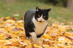 Обои Черно-белый кот идет по листве