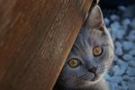 Обои Дымчатый котенок смотрит в камеру