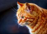 Обои Рыжий кот на синем фоне