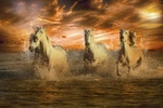 Обои Белые лошади скачут по мелководью на закате, by enriquelopezgarre