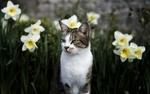 Обои Кошка среди нарциссов, by Ian Livesey