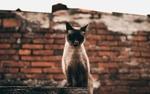 Обои Сиамская кошка с высунутым языком, by Pedro Dutra
