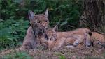 Обои Детенышь рыси со своей мамой-рысью на природе, by Hermann-Josef Telaar