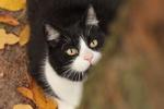 Обои Черно-белый кот смотрит вверх, by nettisrb