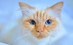 Обои Рыжий котенок с голубыми глазами на размытом фоне