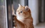 Обои Рыжая кошка у окна