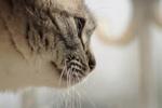 Обои Морда кошки в профиль, фотограф Светлана Бердник