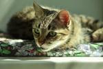 Обои Серая кошки в а с зелеными глазами, фотограф Светлана Бердник
