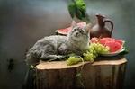 Обои Серая кошка лежит среди винограда, разрезанного арбуза и кувшина, фотограф Ковалева Светлана
