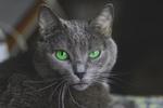 Обои Дымчатый кот с зелеными глазами, by yampolskaya