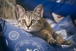 Обои Серый в полоску котенок лежит на подушке