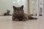Обои Британская короткошерстная кошка лежит на полу