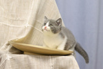 Обои Серый с белым котенок сидит на блюде