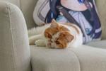 Обои Экзотическая короткошерстная кошка лежит на диване