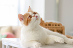 Обои Экзотическая короткошерстная кошка лежит на столе