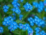 Обои Цветущие голубые незабудки
