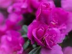 Обои Сиреневые бутоны цветов