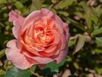Обои Розовая роза, by Christel - Heidelbergerin