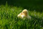 Обои Желтый утенок в зеленой траве, фотограф Николь