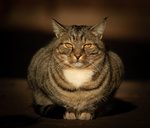 Обои Серая кошка с желтыми глазами, by Furqan Ali