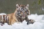 Обои Голубоглазый тигренок лежит на снегу
