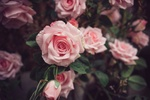 Обои Куст розовых роз