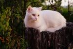 Обои Белая кошка отдыхает на пне
