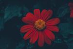 Обои Красный цветок крупным планом