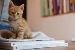 Обои Рыжий котенок на столе, by Loic Pettiti