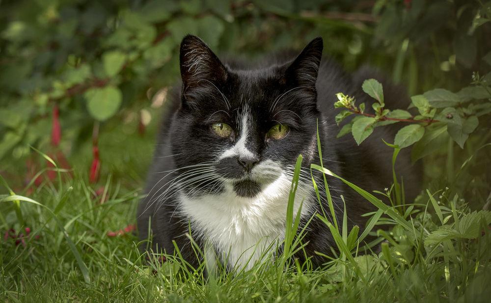 Обои для рабочего стола Черная кошка с белой грудкой лежит в траве, by Jonnyfez