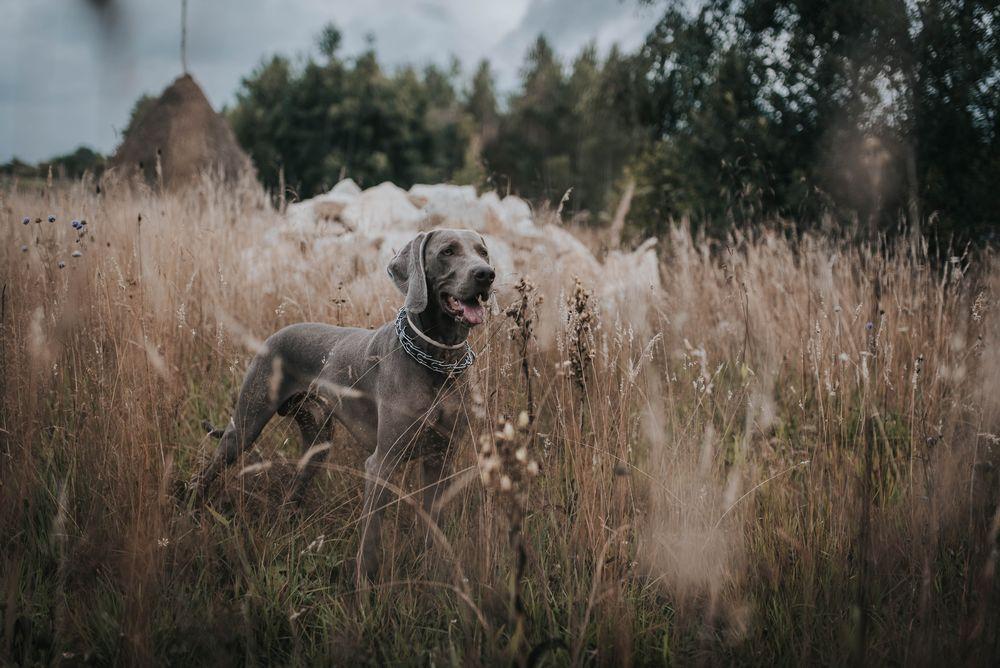 Обои для рабочего стола Собака в траве, by Artsy Vibes