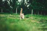 Обои Милый котенок идет по траве, by Andrii Podilnyk