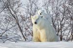 Обои Белый медвежонок сидит на медведице, фотограф Daniel A DAuria