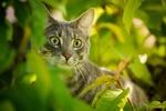 Обои Кошка за листвой, фотограф Kazuky Akayashi