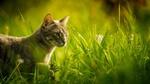 Обои Кошка в траве, фотограф Kazuky Akayashi