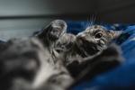 Обои Кошка лежит на постели, фотограф Kazuky Akayashi