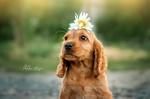 Обои Собачка пыталась сделать себе цветочную причу