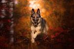 Обои Овчарка бежит по осеннему лесу, by Ilona Mikkonen Photos