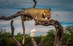 Обои Леопард лежит на коряге