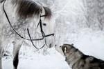 Обои Аляскинский маламут Яся и серая в яблоках лошадь, фотограф Светлана Писарева