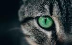 Обои Зеленый глаз серой кошки